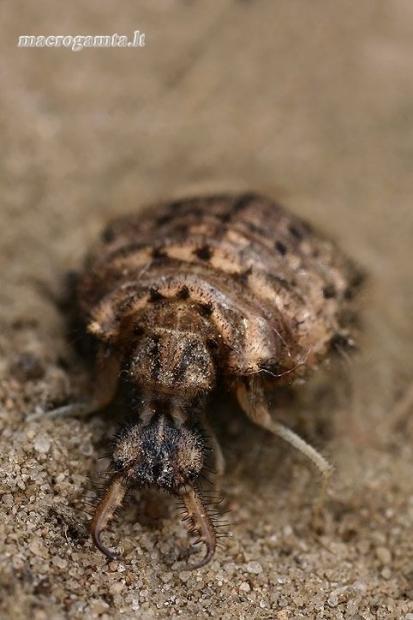 Paprastasis skruzdžių liūtas - Myrmeleon formicarius, lerva  | Fotografijos autorius : Gintautas Steiblys | © Macrogamta.lt | Šis tinklapis priklauso bendruomenei kuri domisi makro fotografija ir fotografuoja gyvąjį makro pasaulį.
