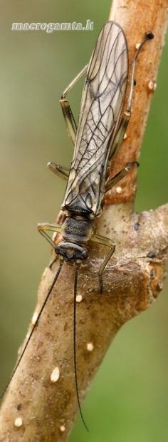 Ankstyvė - Nemouridae | Fotografijos autorius : Gintautas Steiblys | © Macrogamta.lt | Šis tinklapis priklauso bendruomenei kuri domisi makro fotografija ir fotografuoja gyvąjį makro pasaulį.