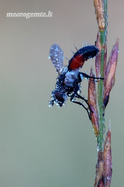 Cylindromyia interrupta - Dygliamusė | Fotografijos autorius : Alma Totorytė | © Macrogamta.lt | Šis tinklapis priklauso bendruomenei kuri domisi makro fotografija ir fotografuoja gyvąjį makro pasaulį.