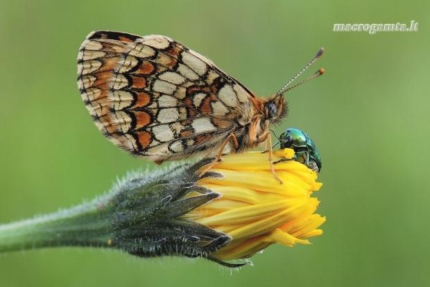Melitaea athalia - Paprastoji šaškytė | Fotografijos autorius : Arūnas Eismantas | © Macrogamta.lt | Šis tinklapis priklauso bendruomenei kuri domisi makro fotografija ir fotografuoja gyvąjį makro pasaulį.