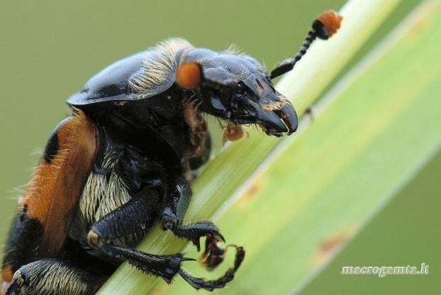 Nicrophorus vespillo - Paprastasis duobkasys | Fotografijos autorius : Arūnas Eismantas | © Macrogamta.lt | Šis tinklapis priklauso bendruomenei kuri domisi makro fotografija ir fotografuoja gyvąjį makro pasaulį.