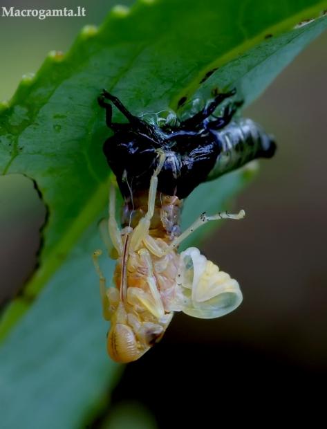 Karklinė cikada - Aphrophora salicina | Fotografijos autorius : Romas Ferenca | © Macrogamta.lt | Šis tinklapis priklauso bendruomenei kuri domisi makro fotografija ir fotografuoja gyvąjį makro pasaulį.