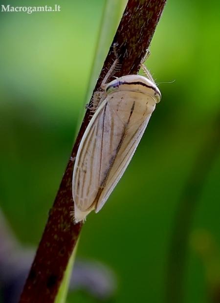 Cikadėlė - Athysanus argentarius | Fotografijos autorius : Romas Ferenca | © Macrogamta.lt | Šis tinklapis priklauso bendruomenei kuri domisi makro fotografija ir fotografuoja gyvąjį makro pasaulį.