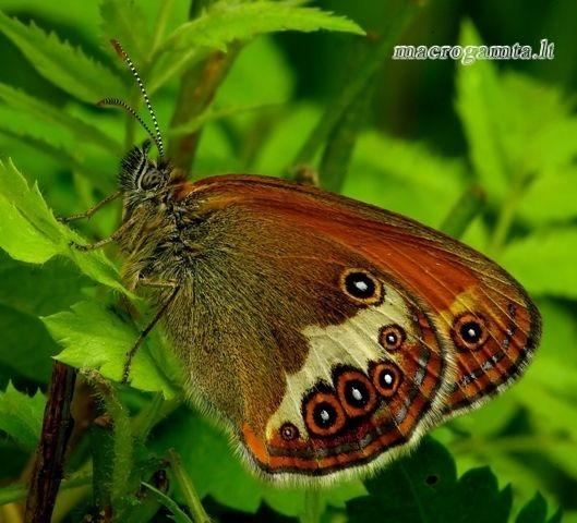 Coenonympha arcania - Krūminis satyriukas   Fotografijos autorius : Romas Ferenca   © Macrogamta.lt   Šis tinklapis priklauso bendruomenei kuri domisi makro fotografija ir fotografuoja gyvąjį makro pasaulį.