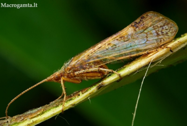 Limnephilus flavicornis – Apsiuva | Fotografijos autorius : Romas Ferenca | © Macrogamta.lt | Šis tinklapis priklauso bendruomenei kuri domisi makro fotografija ir fotografuoja gyvąjį makro pasaulį.