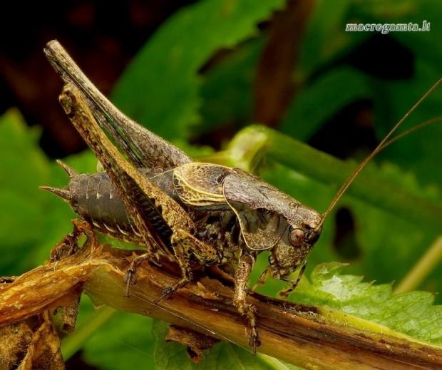 Pholidoptera griseoaptera - Keršasis žiogas   Fotografijos autorius : Romas Ferenca   © Macrogamta.lt   Šis tinklapis priklauso bendruomenei kuri domisi makro fotografija ir fotografuoja gyvąjį makro pasaulį.