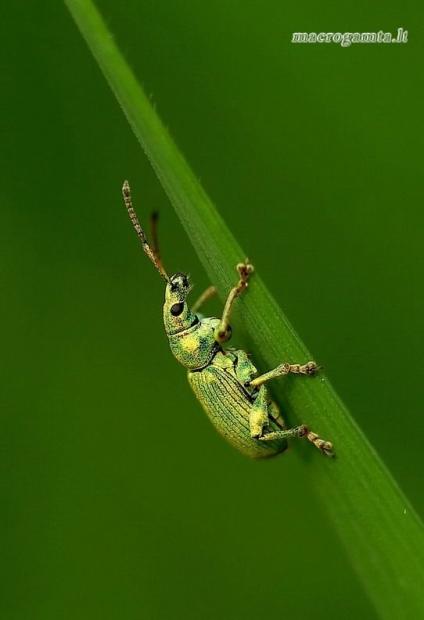 Phyllobius maculicornis - Lapinukas | Fotografijos autorius : Romas Ferenca | © Macrogamta.lt | Šis tinklapis priklauso bendruomenei kuri domisi makro fotografija ir fotografuoja gyvąjį makro pasaulį.