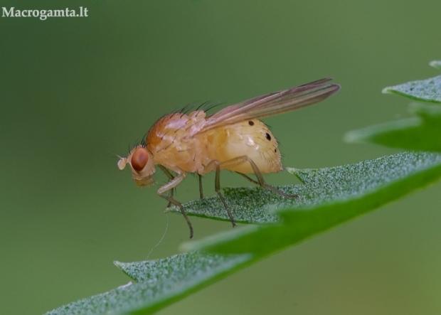 Girinukė - Sapromyza sexpunctata   Fotografijos autorius : Romas Ferenca   © Macrogamta.lt   Šis tinklapis priklauso bendruomenei kuri domisi makro fotografija ir fotografuoja gyvąjį makro pasaulį.