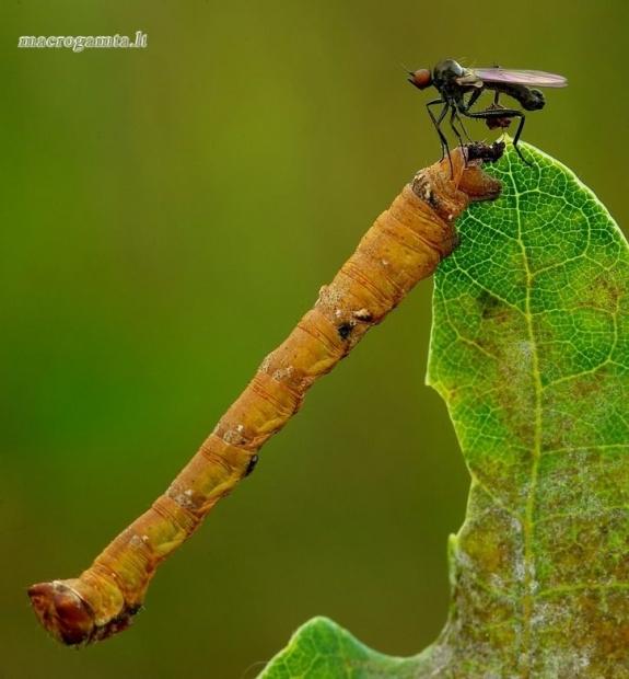 Beržinis šeriasprindis - Biston betularia, vikšras | Fotografijos autorius : Romas Ferenca | © Macrogamta.lt | Šis tinklapis priklauso bendruomenei kuri domisi makro fotografija ir fotografuoja gyvąjį makro pasaulį.