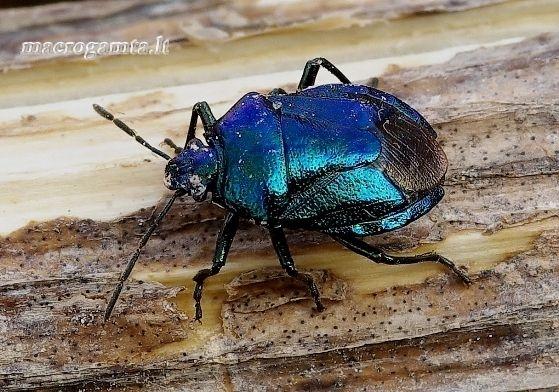 Zicrona caerulea - Mėlynoji skydblakė | Fotografijos autorius : Romas Ferenca | © Macrogamta.lt | Šis tinklapis priklauso bendruomenei kuri domisi makro fotografija ir fotografuoja gyvąjį makro pasaulį.