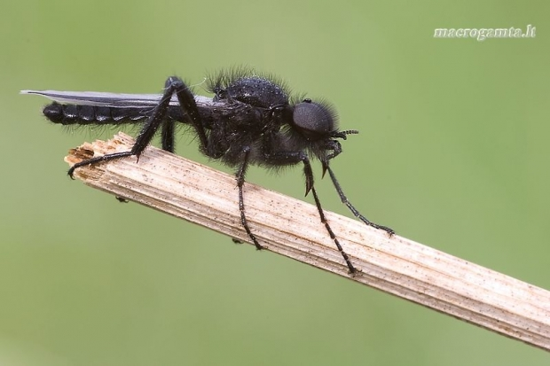 Bibionidae - Storakojis uodas | Fotografijos autorius : Vilius Grigaliūnas | © Macrogamta.lt | Šis tinklapis priklauso bendruomenei kuri domisi makro fotografija ir fotografuoja gyvąjį makro pasaulį.