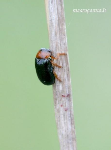 Smaragdina salicina [=cyanea] - Karklinė smaragdina | Fotografijos autorius : Rasa Gražulevičiūtė | © Macrogamta.lt | Šis tinklapis priklauso bendruomenei kuri domisi makro fotografija ir fotografuoja gyvąjį makro pasaulį.