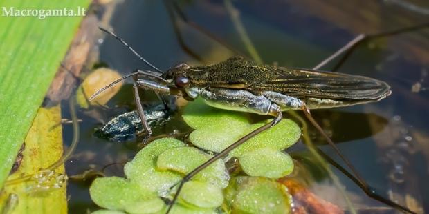 Čiuožikas - Gerridae sp.  | Fotografijos autorius : Oskaras Venckus | © Macrogamta.lt | Šis tinklapis priklauso bendruomenei kuri domisi makro fotografija ir fotografuoja gyvąjį makro pasaulį.