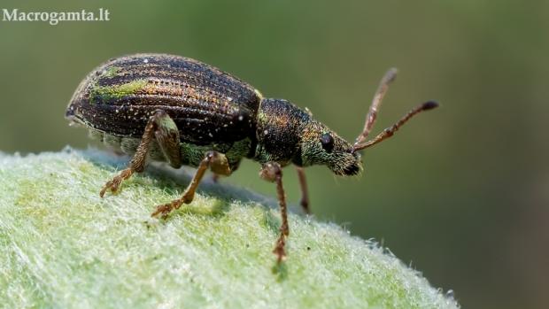 Lapinukas - Phyllobius corruscus | Fotografijos autorius : Oskaras Venckus | © Macrogamta.lt | Šis tinklapis priklauso bendruomenei kuri domisi makro fotografija ir fotografuoja gyvąjį makro pasaulį.