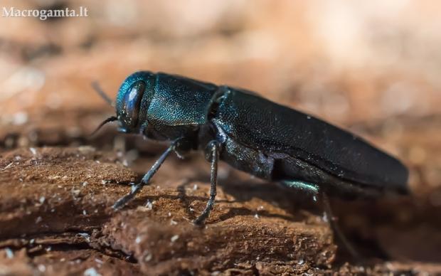 Mėlynasis blizgiavabalis - Phaenops cyanea | Fotografijos autorius : Oskaras Venckus | © Macrogamta.lt | Šis tinklapis priklauso bendruomenei kuri domisi makro fotografija ir fotografuoja gyvąjį makro pasaulį.