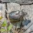 Niūriaspalvis auksavabalis - Osmoderma barnabita  | Fotografijos autorius : Virginijus Jaseliunas | © Macrogamta.lt | Šis tinklapis priklauso bendruomenei kuri domisi makro fotografija ir fotografuoja gyvąjį makro pasaulį.