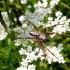 Ąžuolalapis verpstūnas - Aculepeira ceropegia, patinas   Fotografijos autorius : Agnė Kulpytė   © Macrogamta.lt   Šis tinklapis priklauso bendruomenei kuri domisi makro fotografija ir fotografuoja gyvąjį makro pasaulį.