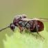 Ąžuolinė gumbavapsvė - Cynips quercusfolii | Fotografijos autorius : Gintautas Steiblys | © Macrogamta.lt | Šis tinklapis priklauso bendruomenei kuri domisi makro fotografija ir fotografuoja gyvąjį makro pasaulį.