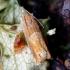Ąžuolinis ancylis - Ancylis mitterbacheriana | Fotografijos autorius : Romas Ferenca | © Macrogamta.lt | Šis tinklapis priklauso bendruomenei kuri domisi makro fotografija ir fotografuoja gyvąjį makro pasaulį.