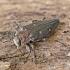 Ąžuolinis blizgiavabalis - Chrysobothris affinis | Fotografijos autorius : Kazimieras Martinaitis | © Macrogamta.lt | Šis tinklapis priklauso bendruomenei kuri domisi makro fotografija ir fotografuoja gyvąjį makro pasaulį.
