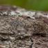 Ąžuolinis kuoduotis - Peridea anceps | Fotografijos autorius : Žilvinas Pūtys | © Macrogamta.lt | Šis tinklapis priklauso bendruomenei kuri domisi makro fotografija ir fotografuoja gyvąjį makro pasaulį.