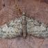 Ąžuolinis sprindytis - Eupithecia dodoneata | Fotografijos autorius : Žilvinas Pūtys | © Macrogamta.lt | Šis tinklapis priklauso bendruomenei kuri domisi makro fotografija ir fotografuoja gyvąjį makro pasaulį.