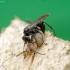Ąsotinė voravapsvė - Auplopus carbonarius | Fotografijos autorius : Romas Ferenca | © Macrogamta.lt | Šis tinklapis priklauso bendruomenei kuri domisi makro fotografija ir fotografuoja gyvąjį makro pasaulį.