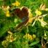 Čiobrelinis auksinukas ♀ - Lycaena alciphron ♀ | Fotografijos autorius : Aleksandras Stabrauskas | © Macrogamta.lt | Šis tinklapis priklauso bendruomenei kuri domisi makro fotografija ir fotografuoja gyvąjį makro pasaulį.