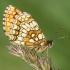 Paprastoji šaškytė (Melitaea athalia) | Fotografijos autorius : Vidas Brazauskas | © Macrogamta.lt | Šis tinklapis priklauso bendruomenei kuri domisi makro fotografija ir fotografuoja gyvąjį makro pasaulį.