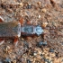 Šiaurinis plokščiavabalis - Dendrophagus crenatus   Fotografijos autorius : Gintautas Steiblys   © Macrogamta.lt   Šis tinklapis priklauso bendruomenei kuri domisi makro fotografija ir fotografuoja gyvąjį makro pasaulį.