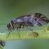 Šiengraužis - Metylophorus nebulosus | Fotografijos autorius : Žilvinas Pūtys | © Macrogamta.lt | Šis tinklapis priklauso bendruomenei kuri domisi makro fotografija ir fotografuoja gyvąjį makro pasaulį.