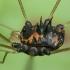 Šienpjovys - Paranemastoma superbum | Fotografijos autorius : Žilvinas Pūtys | © Macrogamta.lt | Šis tinklapis priklauso bendruomenei kuri domisi makro fotografija ir fotografuoja gyvąjį makro pasaulį.
