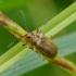 Šilinginis aksominukas - Galerucella grisescens | Fotografijos autorius : Romas Ferenca | © Macrogamta.lt | Šis tinklapis priklauso bendruomenei kuri domisi makro fotografija ir fotografuoja gyvąjį makro pasaulį.