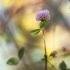 Šilinis dobilas - Trifolium medium   Fotografijos autorius : Vidas Brazauskas   © Macrogamta.lt   Šis tinklapis priklauso bendruomenei kuri domisi makro fotografija ir fotografuoja gyvąjį makro pasaulį.