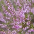 Šilinis viržis - Calluna vulgaris  | Fotografijos autorius : Gintautas Steiblys | © Macrogamta.lt | Šis tinklapis priklauso bendruomenei kuri domisi makro fotografija ir fotografuoja gyvąjį makro pasaulį.