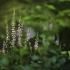Šilinis viržis - Calluna vulgaris | Fotografijos autorius : Vidas Brazauskas | © Macrogamta.lt | Šis tinklapis priklauso bendruomenei kuri domisi makro fotografija ir fotografuoja gyvąjį makro pasaulį.