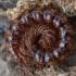 Šimtakojis - Strongylosoma stigmatosum | Fotografijos autorius : Žilvinas Pūtys | © Macrogamta.lt | Šis tinklapis priklauso bendruomenei kuri domisi makro fotografija ir fotografuoja gyvąjį makro pasaulį.