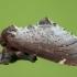 Širmoji odontozija - Odontosia carmelita   Fotografijos autorius : Žilvinas Pūtys   © Macrogamta.lt   Šis tinklapis priklauso bendruomenei kuri domisi makro fotografija ir fotografuoja gyvąjį makro pasaulį.