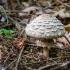Šiurkščioji žvynoklė   Shaggy parasol   Chlorophyllum rhacodes   Fotografijos autorius : Darius Baužys   © Macrogamta.lt   Šis tinklapis priklauso bendruomenei kuri domisi makro fotografija ir fotografuoja gyvąjį makro pasaulį.