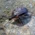 Šliužagraužis maitvabalis - Phosphuga atrata | Fotografijos autorius : Vitalii Alekseev | © Macrogamta.lt | Šis tinklapis priklauso bendruomenei kuri domisi makro fotografija ir fotografuoja gyvąjį makro pasaulį.