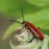 Šukaūsis raudonvabalis - Schizotus pectinicornis ♂ | Fotografijos autorius : Gintautas Steiblys | © Macrogamta.lt | Šis tinklapis priklauso bendruomenei kuri domisi makro fotografija ir fotografuoja gyvąjį makro pasaulį.