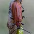Šukaūsis raudonvabalis - Schizotus pectinicornis ♂ | Fotografijos autorius : Žilvinas Pūtys | © Macrogamta.lt | Šis tinklapis priklauso bendruomenei kuri domisi makro fotografija ir fotografuoja gyvąjį makro pasaulį.