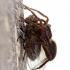 Šuolininkas - Pardosa sp.   Fotografijos autorius : Ramunė Činčikienė   © Macrogamta.lt   Šis tinklapis priklauso bendruomenei kuri domisi makro fotografija ir fotografuoja gyvąjį makro pasaulį.