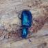 Ūsuotinis keršvabalis - Korynetes caeruleus   Fotografijos autorius : Romas Ferenca   © Macrogamta.lt   Šis tinklapis priklauso bendruomenei kuri domisi makro fotografija ir fotografuoja gyvąjį makro pasaulį.