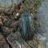 Pušinis skujagraužis - Cortodera femorata | Fotografijos autorius : Žilvinas Pūtys | © Macrogamta.lt | Šis tinklapis priklauso bendruomenei kuri domisi makro fotografija ir fotografuoja gyvąjį makro pasaulį.