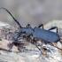 Paprastasis juodūnas - Ropalopus clavipes | Fotografijos autorius : Romas Ferenca | © Macrogamta.lt | Šis tinklapis priklauso bendruomenei kuri domisi makro fotografija ir fotografuoja gyvąjį makro pasaulį.