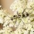 Liepinis raštenis - Chlorophorus herbstii | Fotografijos autorius : Giedrius Markevičius | © Macrogamta.lt | Šis tinklapis priklauso bendruomenei kuri domisi makro fotografija ir fotografuoja gyvąjį makro pasaulį.