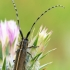 Stagarinukas - Agapanthia cardui | Fotografijos autorius : Gintautas Steiblys | © Macrogamta.lt | Šis tinklapis priklauso bendruomenei kuri domisi makro fotografija ir fotografuoja gyvąjį makro pasaulį.