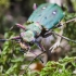 Žaliasis šoklys - Cicindela campestris | Fotografijos autorius : Kazimieras Martinaitis | © Macrogamta.lt | Šis tinklapis priklauso bendruomenei kuri domisi makro fotografija ir fotografuoja gyvąjį makro pasaulį.