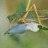 Žaliasis žiogas – Tettigonia viridissima | Fotografijos autorius : Agnė Našlėnienė | © Macrogamta.lt | Šis tinklapis priklauso bendruomenei kuri domisi makro fotografija ir fotografuoja gyvąjį makro pasaulį.